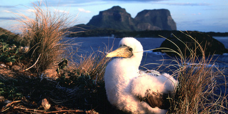 Get up close to the wild birds of Lord Howe. Photo / Tourism New South Wales