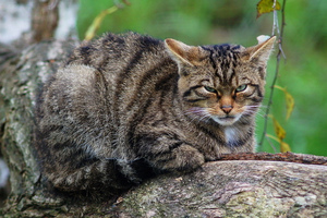 Only 35 pure Scottish wildcats are thought to exist in the Highlands. Photo / AP