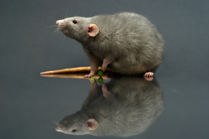 Rats have been eliminated on several smaller islands. Photo / Getty Images