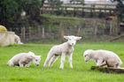 Orphaned lambs at Ambury Park Farm in Mangere.Photo / Paul Estcourt