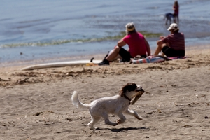 Dogs on eastern bays beaches may have eaten toxic sea slug eggs. Photo / Dean Purcell.
