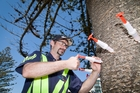 Scion Rotorua research technician Kane Fleet treats one of the sick Norfolk pines at Mount Maunganui. Photo / Andrew Warner
