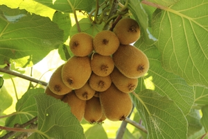 Kiwifruit workers have found employment elsewhere because of the reduction in fruit volumes.