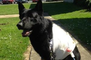 Police dog Gus after the attack.