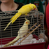 Birds at the annual SPCA Auckland Blessing of the Animals, held at St Matthew-In-The-City. Photo / Brett Phibbs