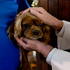 A dog is blessed at the annual SPCA Auckland Blessing of the Animals, held at St Matthew-In-The-City. Photo / Brett Phibbs