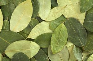 Coca Leaf. Photo / Thinkstock