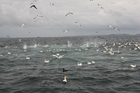 The diving gannets are a magnet for fishermen.
