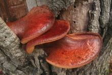 Beefsteak fungus from Australia.