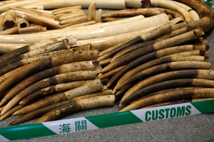 These tusks got as far as Hong Kong before they were seized. Photo / AP
