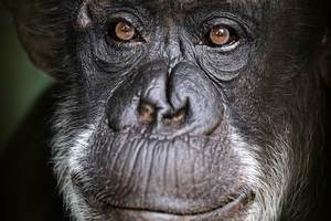 Janie the chimpanzee has died at Auckland Zoo.