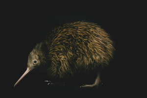 Photo: Timothy ShiversAt the current rate of kiwi mortality, New Zealand's favourite creatures will have disappeared from the mainland in 50 years. But that situation can be turned around.