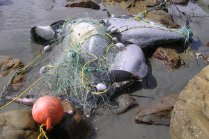 Critically endangered Maui's dolphins caught in nets.  Photo / Supplied.