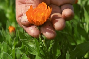 Photo: Warren BucklandCalendula flowers at Weleda's biodynamic gardens in Hawkes Bay.