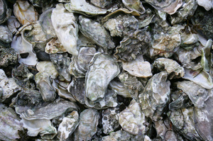 Fishery Officers found 1400 oysters which had been gathered by three divers. Photo / Thinkstock