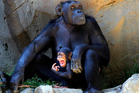 Human yawns are contagious for chimps, scientists have found. Photo / AP