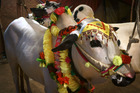 Decorated cattle are on display to attract customers at a make-shift market set up for the upcoming Muslim holiday of Eid al-Adha. Photo / AP