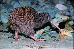 The veterinarian team at Massey University had tried all it could to save the injured kiwi.