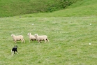 Kaitaia's Bill Garton instructs Bud at the 2011 Sheep Dog Trials in Maungakaramea. Photo/ File
