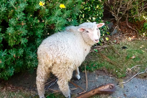 Larry the lamb was bashed to death then burnt by two Dunedin teenagers who have been jailed for their actions.
