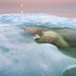 The Natural History Museum Wildlife Photographer of the Year 2013. Polar Bear (Ursus maritimus) hides submerged beneath melting sea ice in Hudson Bay by Paul Souders