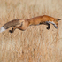 The Natural History Museum Wildlife Photographer of the Year 2013. Leaoing fox by Connor Stefanison