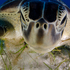 The Natural History Museum Wildlife Photographer of the Year 2013. Green turtle portrait feeding on sea grass in Cancun waters, Caribbean sea Mexico by Luis Javier Sandoval