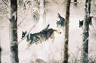 Wolves are making a big comeback in France. Photo / Buena Vista