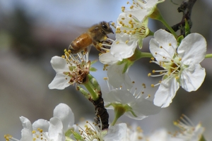 Bees need pollen to feed their larvae.