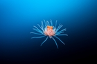 Richard Robinson's picture of a leopard anemone caught floating into the deep blue sea was described by judges as