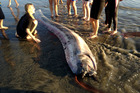 This rare, snakelike oarfish washed up on the beach near Oceanside, California. Photo / AP