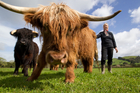 Ginni Alexander with her Highland Cattle at Ardargie Fold. Photo / Richard Robinson