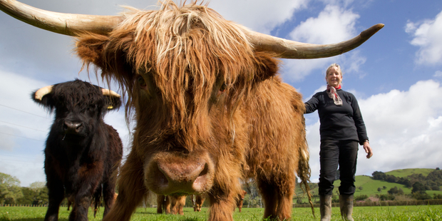 Ginni Alexander with her Highland Cattle at Ardargie Fold. Photo / Richard Robinson