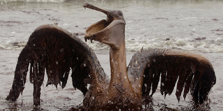 Oil from the Deepwater Horizon has affected wildlife throughout the Gulf of Mexico.