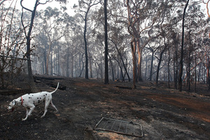A dog walks in the backyard of a home destroyed by bushfire in Winmalee, Australia. Photo / Getty Images