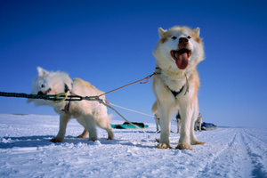 Mawson and Mertz had been killing and eating their huskies. Photo / Thinkstock