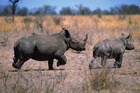 The rhinoceros is an endangered species. Photo / Thinkstock