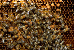 A man is in critical condition after being stung by between 50 and 100 bees. File photo / NZ Herald