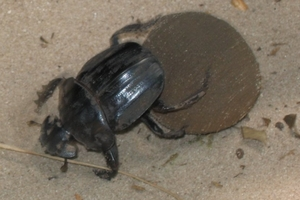 "Scientists who have challenged the release of dung beetles say they could become flying ""faecal bombs""."