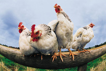 Some women confessed to being scared of chickens.Photo / Thinkstock