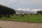 Dairy cattle grazing at Kanui Station.