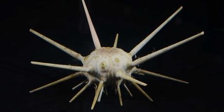A Cidarid sea urchin spotted at 499m.