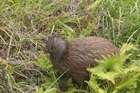 EMOTIONAL HOMECOMING: One of the kiwi on Motukawanui Island. PHOTO/PAULINE MORETTI