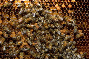 A man is recovering after being stung by a swarm of bees.