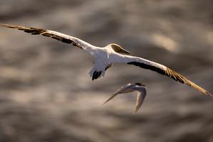 The Takapu (gannet). Photo / Dean Purcell