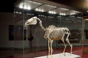 The skeleton of Australasia's most famous horse, Phar Lap.