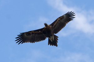 A giant wedge-tailed eagle has been spotted around Bethells Beach. Photo / Wikimedia Commons