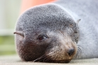 Two men beat 23 seals to death, believing they were pests. Photo / APN