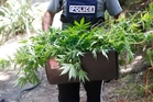 Last season Northland police destroyed more than 48,000 cannabis plants.