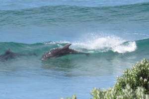 Onerahi's Wendy Giffin captured the photos of Pete and the dolphins on Friday afternoon at Ocean Beach. Photo / Wendy Giffin